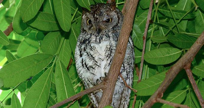 Scops owl Equatorial Guinea by Bernard DUPONT