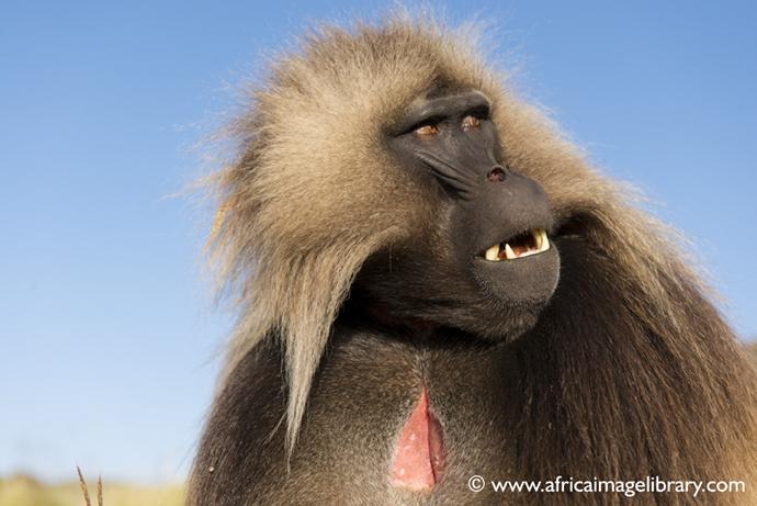 Gelada monkey Ethiopia by Ariadne Van Zandbergen