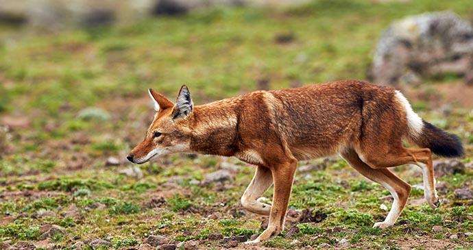 Ethiopian wolf, Ethiopia, Africa by ArCaLu, Shutterstock