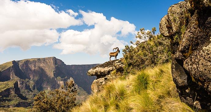 Walia Ibex, Ethiopia, Africa by ArCaLu, Shutterstock