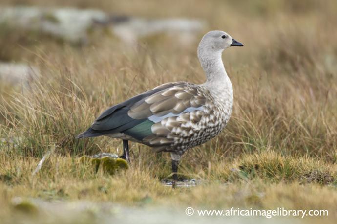 Blue-winged goose birdwatching Ethiopia by Ariadne Van Zandbergen