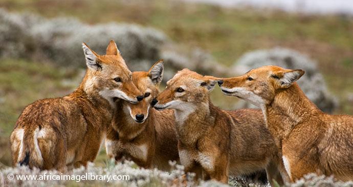 Simien wolf Simien Mountains National Park by Ariadne Van Zandbergen