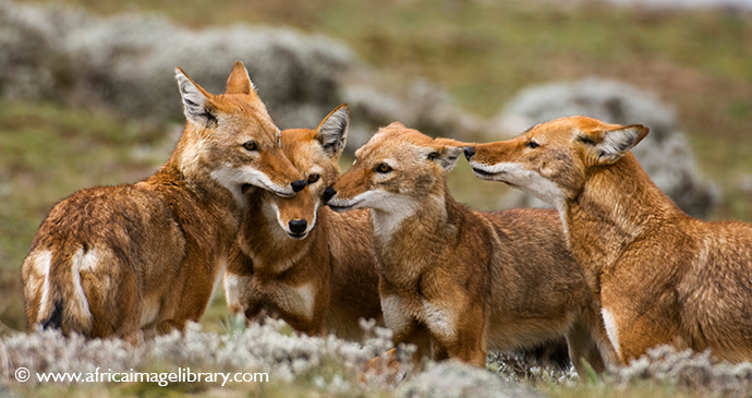 Ethiopian wolf Simien Mountains National Park Ethiopia by Africa Image Library