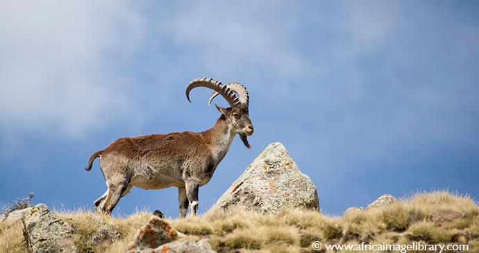 Walia ibex wildlife guide Ethiopia by Ariadne Van Zandbergen