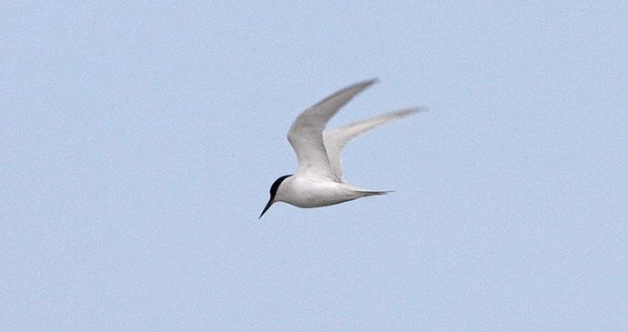 Damara Tern Gabon by Magnus Manske Wikimedia Commons