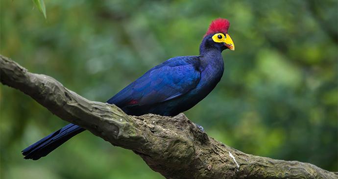 Lady Ross's Turaco Gabon by Valdimir Wrangel Shutterstock