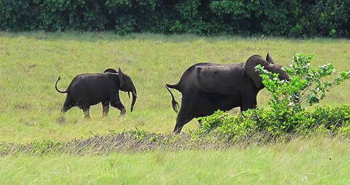 Elephants Loango National Park Gabon by Kurt Dundy Wikimedia Commons