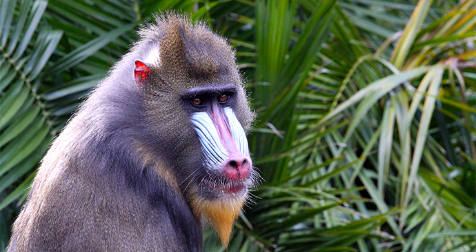 Side View of a Mandrill Gabon by Cloudia Spinner Shutterstock