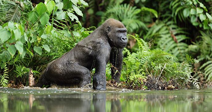 Western Lowland Gorilla by Michal Jirous Shutterstock
