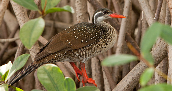 African finfoot, The Gambia by Paul Cools, Wikimedia Commons
