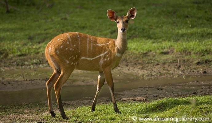 Bushbuck, Abuko Nature Reserve, the Gambia by Ariadne Van Zandbergen
