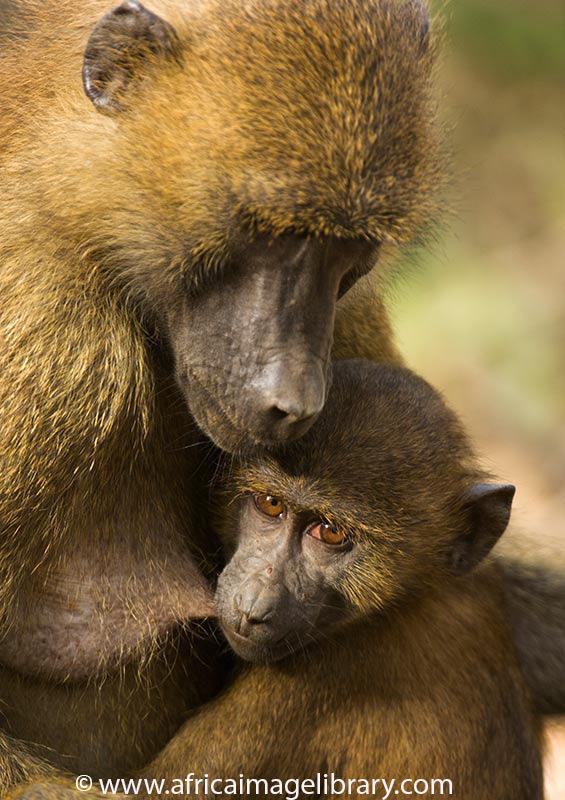 Guinea baboon, Makasutu, The Gambia by Ariadne Van Zandbergen, www.africaimagelibrary.com