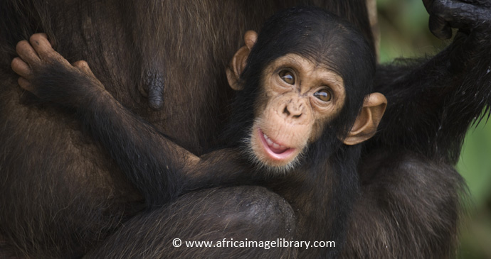 Baby chimpanzee by Ariadne Van Zandbergen, www.africaimagelibrary.com