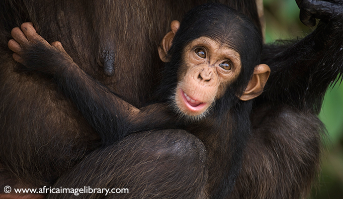 Chimpanzee Rehabilitation Project, River Gambia National Park, The Gambia by Ariadne Van Zandbergen
