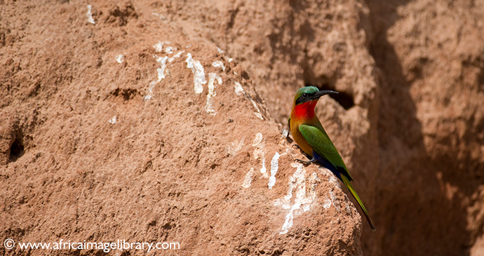 Rainbow bee eater The Gambia by Ariadne Van Zandbergen