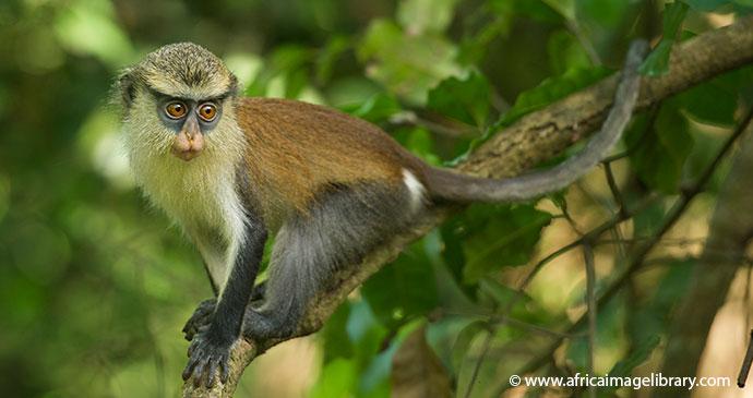 Mona monkey, Boabeng-Fiema, Ghana by Ariadne Van Zandbergen