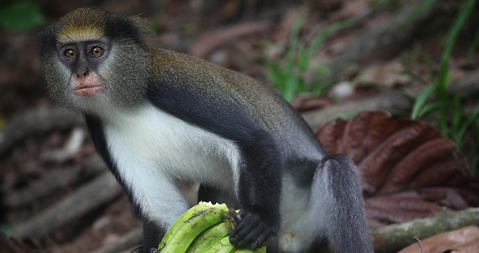 Monkey Tai National Park Ivory Coast by Alex Sebley