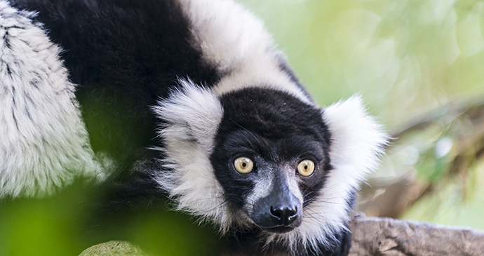 Black and white ruffed lemur Madagascar by jamie, Shutterstock