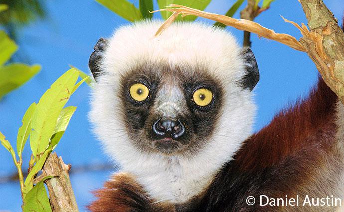 Coquerel's sifaka, Madagascar © Daniel Austin lemur