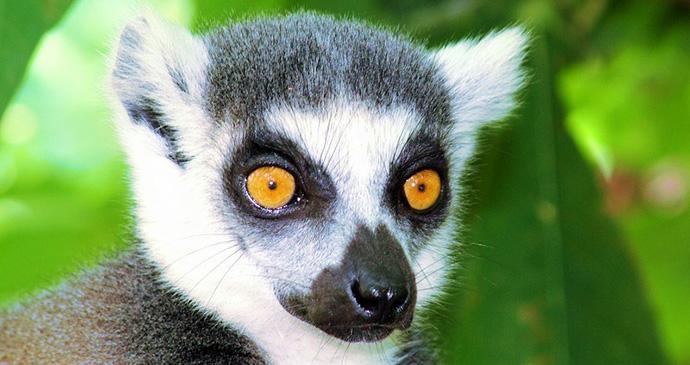Ring tailed lemur, Madagascar © Daniel Austin