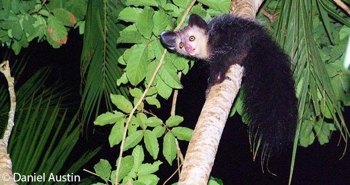 Aye-aye, Madagascar © Daniel Austin