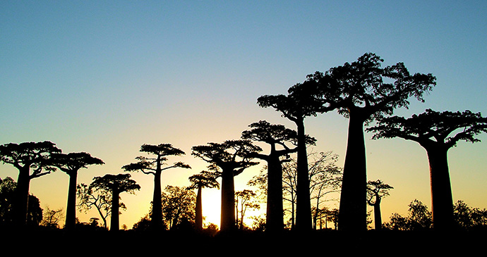 Avenue des Baobabs Madagascar by purcell, Shutterstock