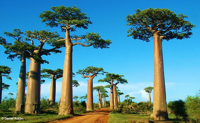 Avenue des Baobabs Madagascar by Daniel Austin