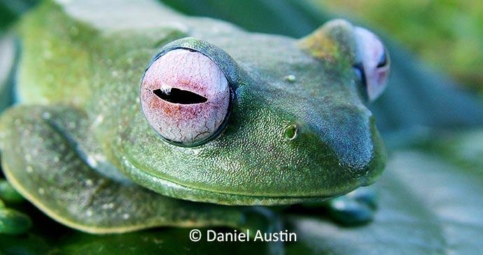 Boophis frog Madagascar by Daniel Austin