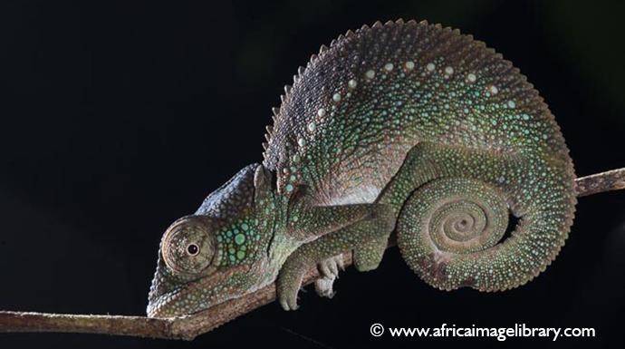Outstalet's chameleon Madagascar by Ariadne Van Zandbergen