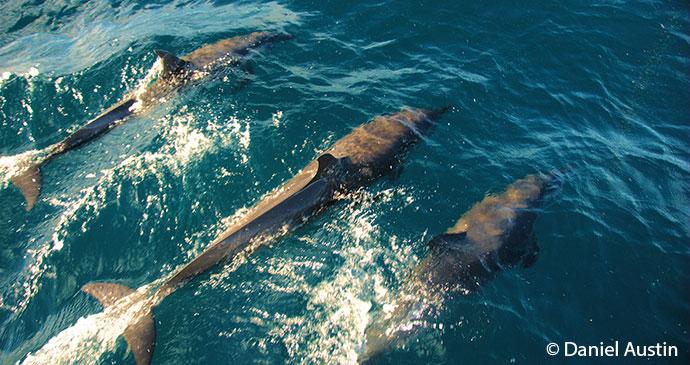Dolphins Nosy Be Madagascar by Daniel Austin