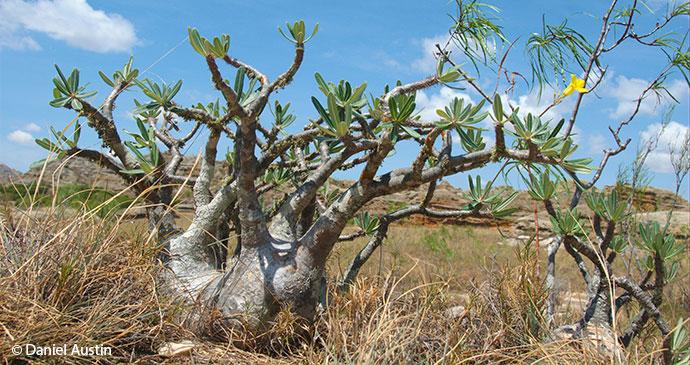 Pachypodium tree Madagascar Daniel Austin