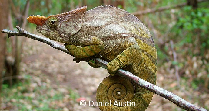 Parson's chameleon Madagascar by Daniel Austin