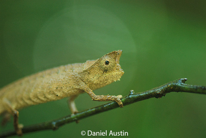Stump-tailed chameleon Madagascar by Daniel Austin