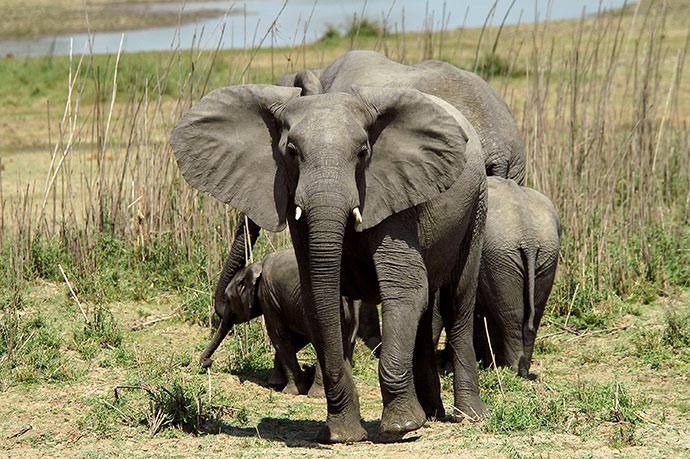 Elephants Malawi pigmy, Shutterstock