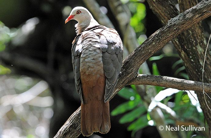Pink pigeon © Neal Sullivan