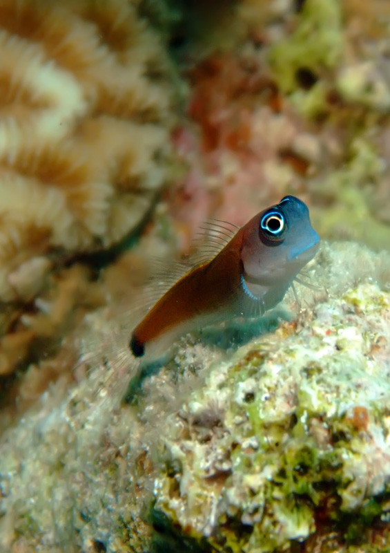Aron's blenny, Mozambique by Cigdem Sean Cooper, Shutterstock