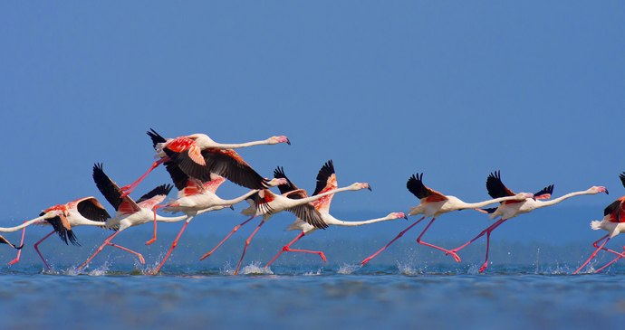 Flamingoes in flight, Mozambique by Andre Klopper, Shutterstock