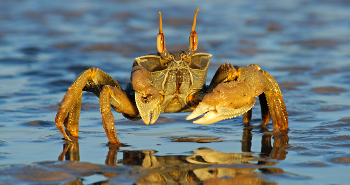 Ghost crab on a beach, Mozambique by EcoPrint, Shutterstock