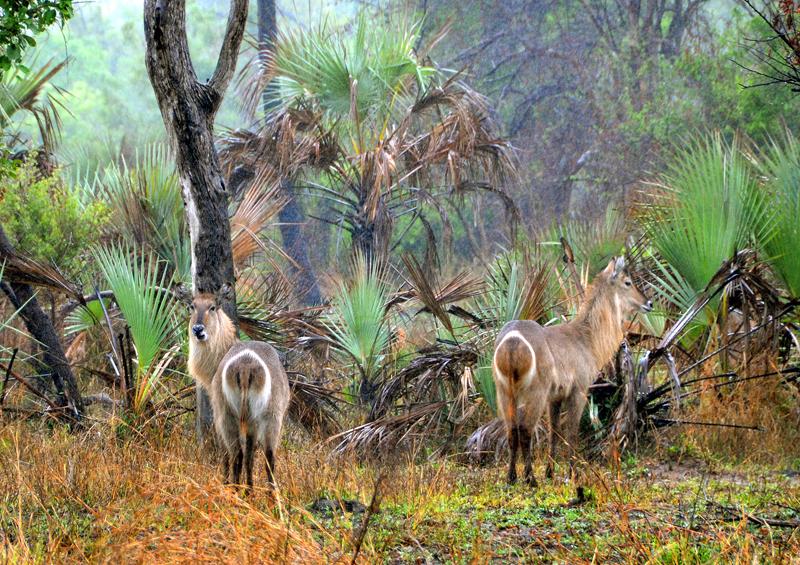 Waterbuck, Gorongosa National Park, Mozambique by Andrzej Grzegorczyk, Shutterstock
