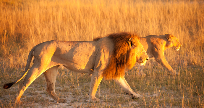 Lions Botswana by nicolas poizot, Shutterstock