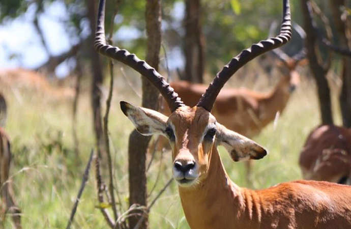 Male impala by Jean-Marie Kagaba Twambaze