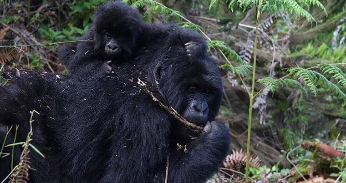 Mountain gorillas by Jean-Marie Kagaba Twambaze