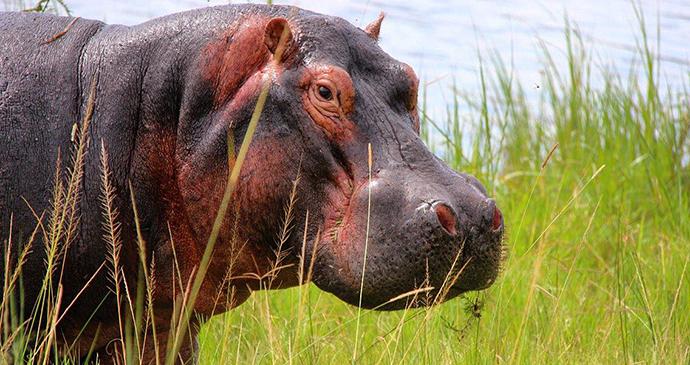 Hippo by Jean-Marie Kagaba Twambaze