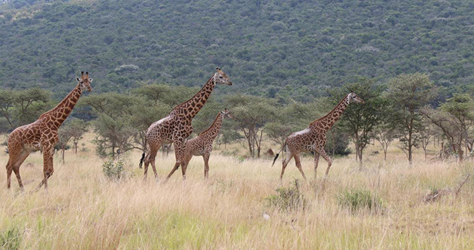 Maasai giraffes by Jean-Marie Kagaba Twambaze