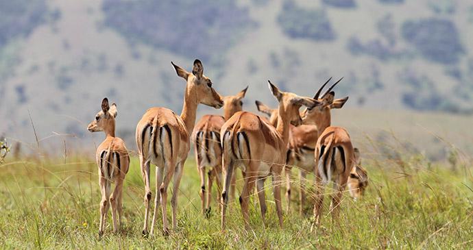 Impala in Akagera, Rwanda by © Sarah hall, Akagera Management Company