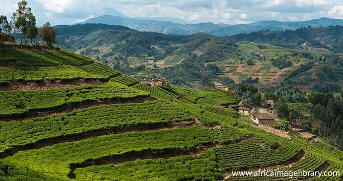 Tea crops in Rwanda by ©Ariadne Van Zandbergen, Africa Image Library