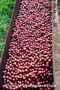 Coffee beans in Rwanda by ©Ariadne Van Zandbergen, africaimagelibrary.com