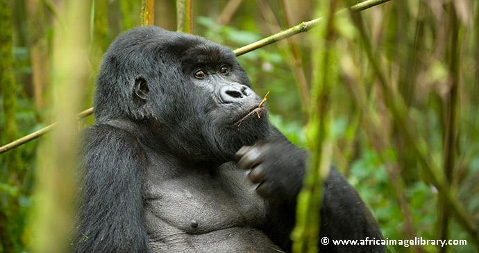 A gorilla in Rwanda by by Ariadne Van Zandbergen, Africa Image Library