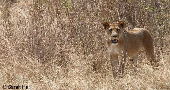 Lion Akagera National Park Rwanda by Sarah Hall, Akagera National Park
