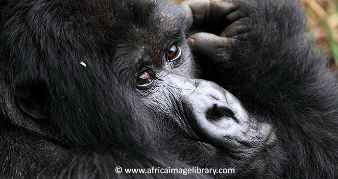 Adult Mountain Gorilla, Rwanda by www.africaimagelibrary.com